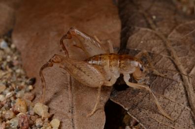 Pristoceuthophilus arizonae (Orthoptera: Raphidophoridae), large male